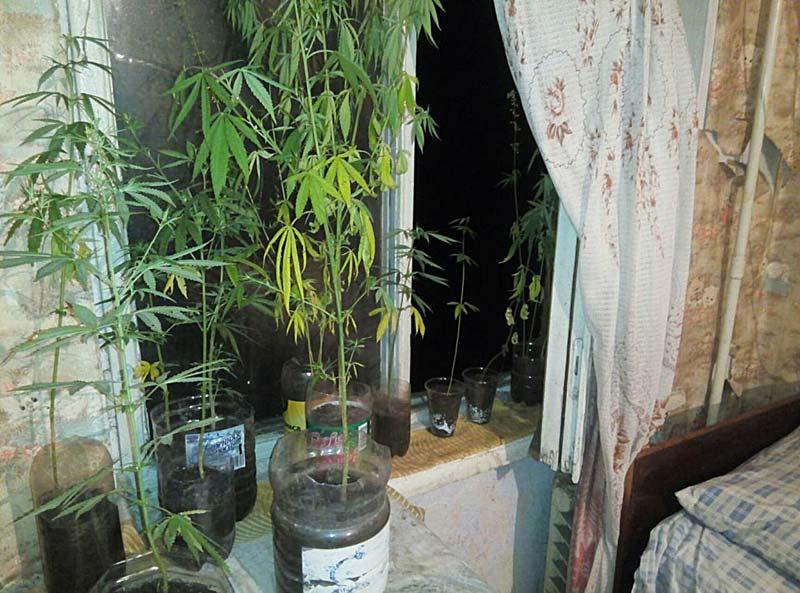 Полицейские обнаружили 24 куста конопли в квартире Севастопольца