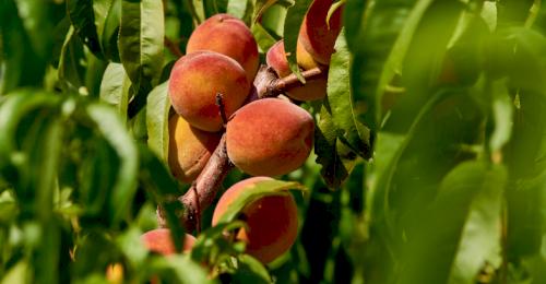 На севастопольских предприятиях начался сбор урожая персиков