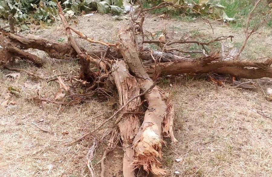 Ремонт севастопольского двора убивает деревья