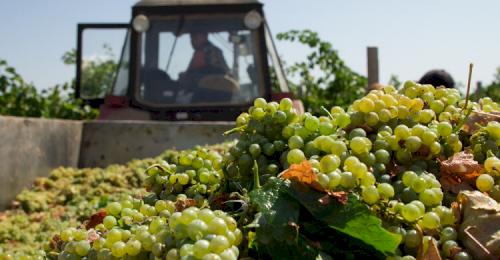 Севастопольские аграрии получили государственную поддержку на развитие виноградарства