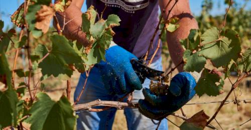 Севастопольские аграрии планируют собрать более 20 тысяч тонн винограда