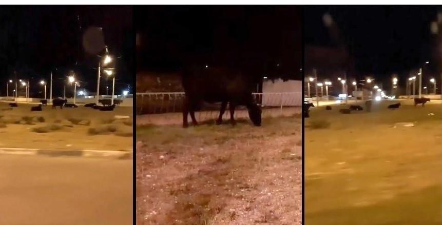 В Севастополе развязка «огурец на 5-м» ночью превратилась в пастбище