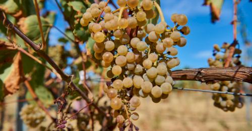 В Севастополе стартовал сезон сбора урожая винограда